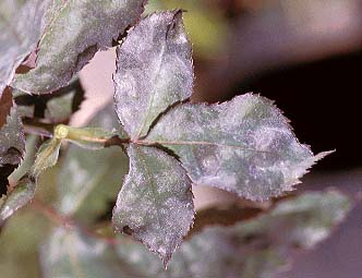 Powdery Mildew - photo SactoRose Baldo Villegas