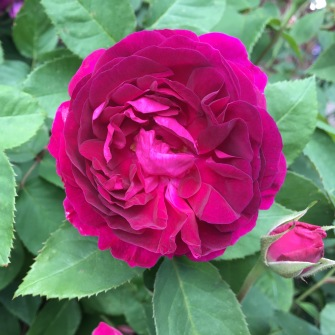 Pulich Children rose